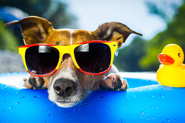 summertime dog at pool