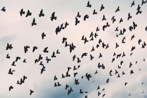 black birds flying